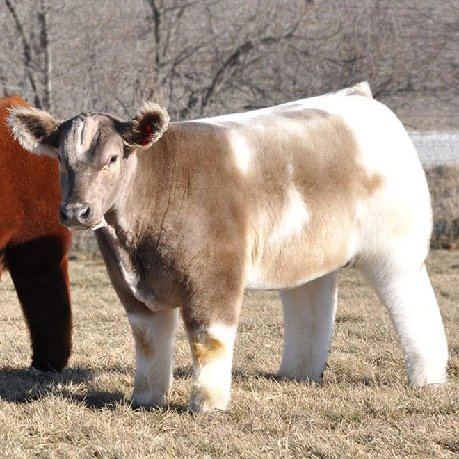 Fluffy, shampooed and blow-dried cow.