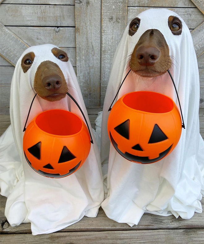 Lazy Halloween costume for dogs.
